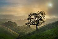 Sun setting through fog over oak tree and green hills in Briones Regional Park, Contra Costa County, California