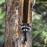Raccoon, (Procyon lotor) Adult takes shelter in rotting pine. Late Fall.Early morning.    Captive Animal.