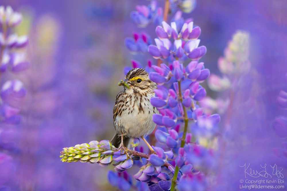 A savannah sparrow (Passerculus sandwichensis) feasts on an insect while perched on a flowering big-leaved lupine (Lupinus polyphyllus) in Van Lierop Park, Puyallup, Washington.