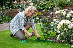 Installing plastic edging around a rose bed