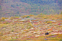Grizzly bear near the Arctic Circle, Yukon, Canada
