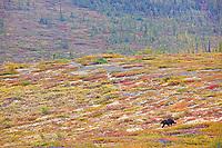 Grizzly bear near the Arctic Circle, Yukon, Canada