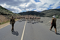 Ostriches On Road With Ostrich Hearders