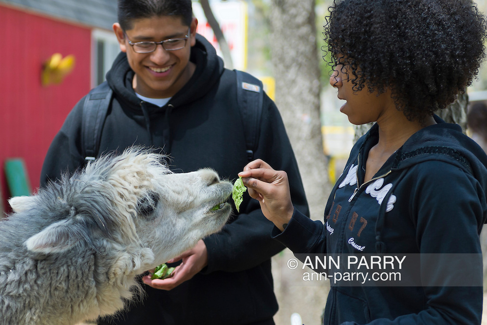 Two visitors are feeding lettuce to an alpaca on the farmhouse grounds of Queens County Farm Museum, while an Antique Car Show is held there in a nearby field.