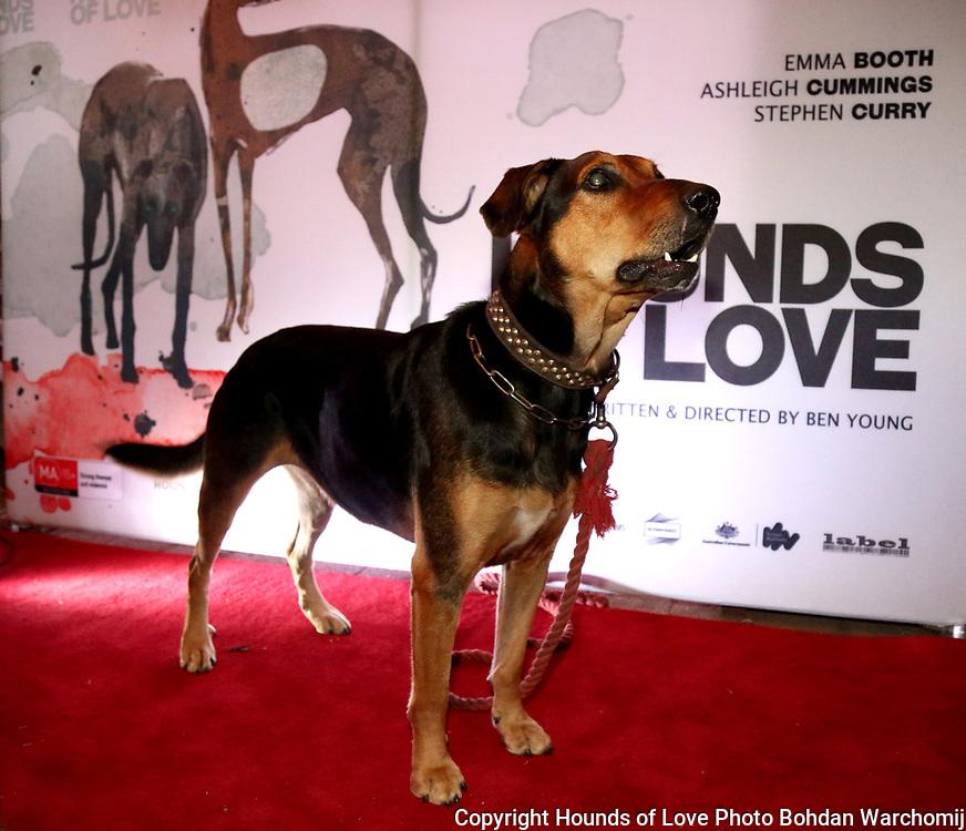 Lou New Zealand Huntsaway Actor at screening of Hounds of Love Photo Bohdan Warchomij