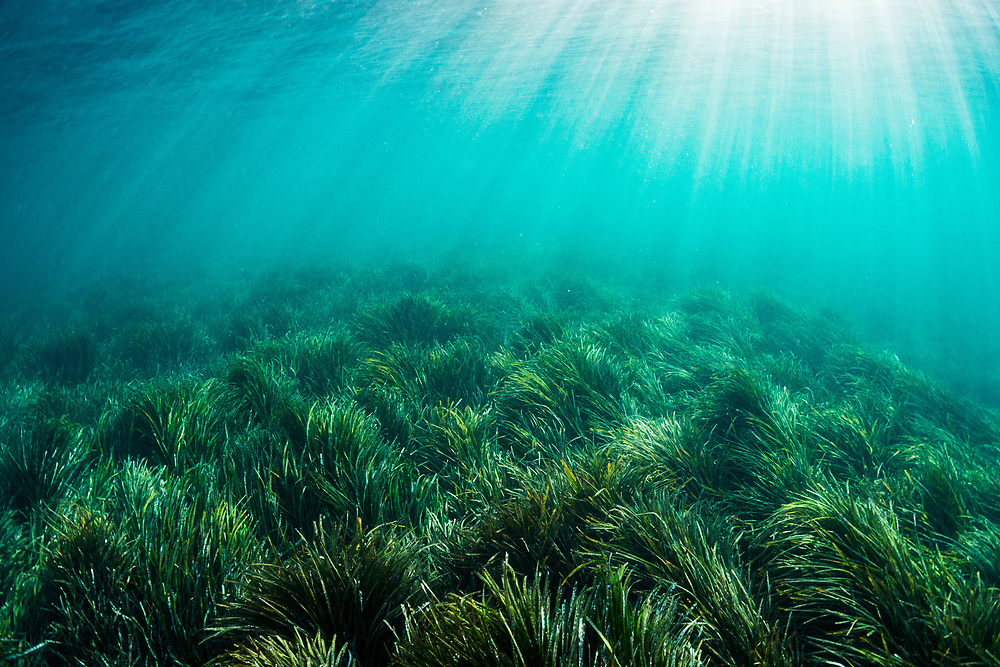 Neptune seagrass (Posidonia oceanica) in the Mediterranean Sea off Spain. One patch is considered to be the oldest living organism on Earth.