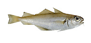 Poor-cod Trisopterus minutus Length to 25cm<br /> Streamlined but rather deep-bodied pelagic fish with proportionately very large eyes. Young in particular venture into inshore waters. Adult is brown above, silvery below. Has 3 dorsal fins and 2 anal fins. Lower jaw is roughly same length as upper, with delicate barbel. Widespread and locally common although absent from much of NE.