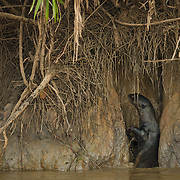Giant Otter at the entracne to it's den, Cuiaba river, Pantanal, Brazil.