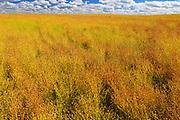 Flax field<br /> Rosenhof<br /> Saskatchewan<br /> Canada