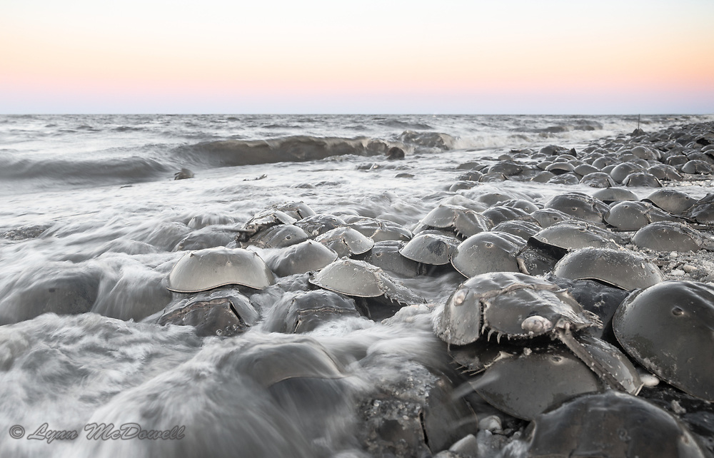 The sun sets on the ancient ritual of spring Horseshoe crab spawning on the Delaware Bay providing essential eggs for the migrating shorebirds.<br /> Delaware Bayshore, Pickering Beach