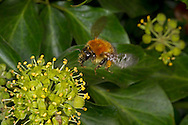 Common Carder Bee - Bombus pascuorum on Ivy.