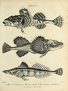 Cottus 1. Sea Scorpion 2. Sea Bull 3. Scabrous Bullhead Copperplate engraving From the Encyclopaedia Londinensis or, Universal dictionary of arts, sciences, and literature; Volume V;  Edited by Wilkes, John. Published in London in 1810