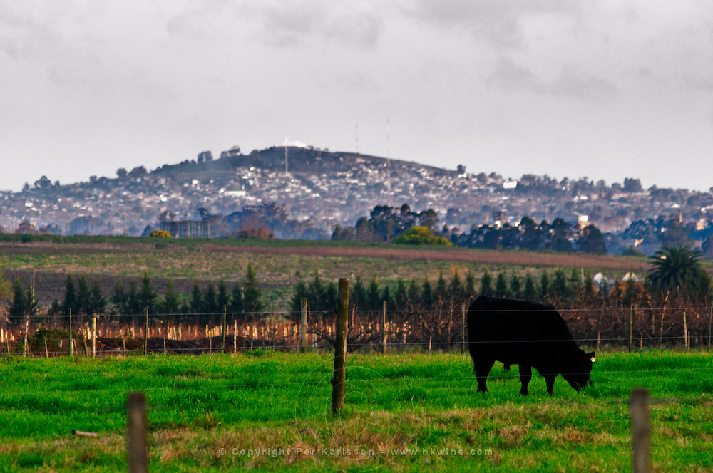 A grazing black angus bull in a green field, that will at some later time in its life go to the famed Uruguay barbecue Asado. Evening setting sun. Cerro Montevideo hill in the Montevideo suburbs in the background. Montevideo, Uruguay, South America