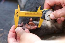 Measuring Foot Of Mountain Brushtail Possum