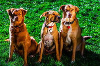 On left, an Australia/shepherd/Golden Retriever mix; middle: a Rhodesian Ridgeback/lab mix; on right: a lab/border collie mix; Littleton, Colorado USA.