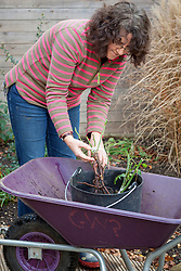 Planting a bare root rose - soaking in water before planting