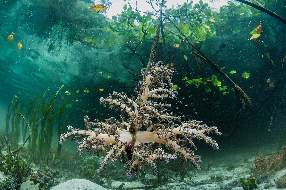 Soft Coral (Nephthea sp)<br /> Raja Ampat<br /> West Papua<br /> Indonesia<br /> On mangrove root