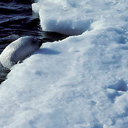 Harp Seal, (Pagophilus groenlandicus) Pup climbing out of ocean after first swim. Spring. Nova Scotia. Canada.