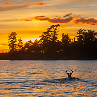 A deer swims to an island in Lake of the Woods, Ontario, Canada.
