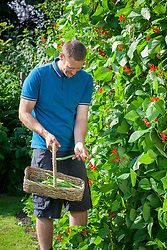 Harvesting runner beans into a basket. Phaseolus coccineus