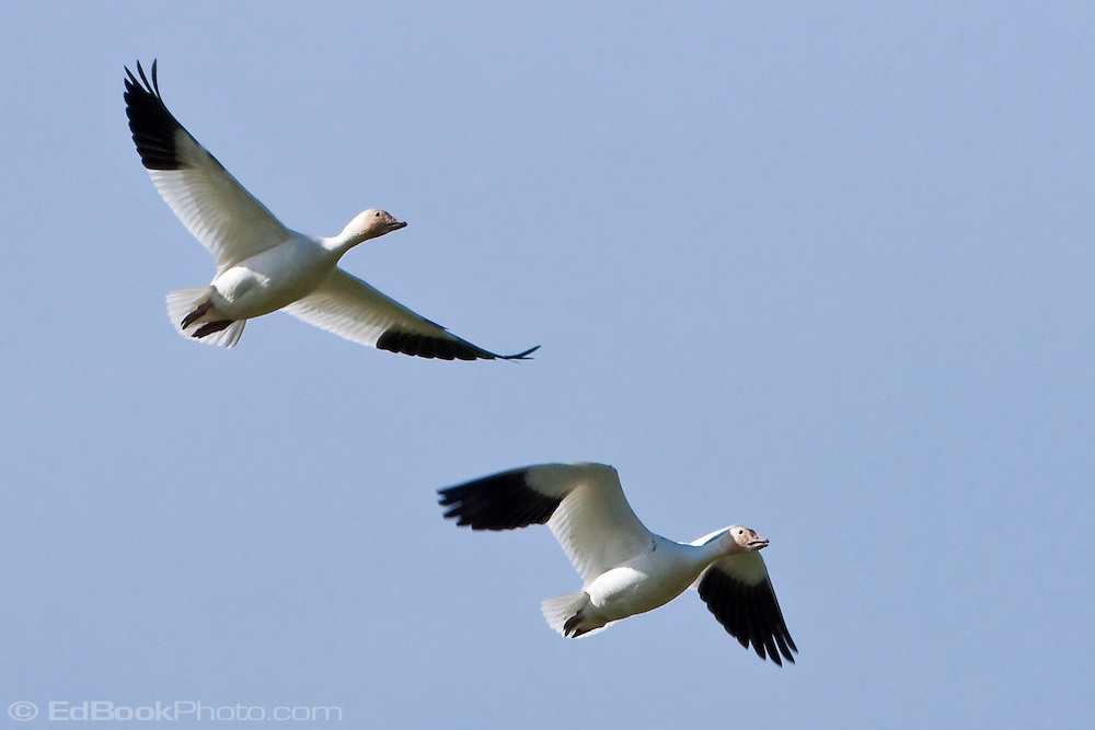 two Snow Geese (Chen caerulescens) fly above while wintering at Fir Island in the Skagit River Delta, Puget Sound, Washington, USA