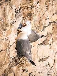 Kittiwakes at the RSPB nature reserve at Bempton Cliffs in Yorkshire, as over 250,000 seabirds flock to the chalk cliffs to find a mate and raise their young.