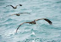 Three Brown Pelicans, Pelecanus occidentalis, fly over the Caribbean Sea near Gibara, Cuba