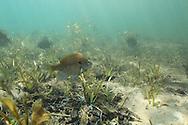 Bluegill on spawning nest<br /> <br /> Roger Peterson/ENGBRETSON UNDERWATER PHOTO