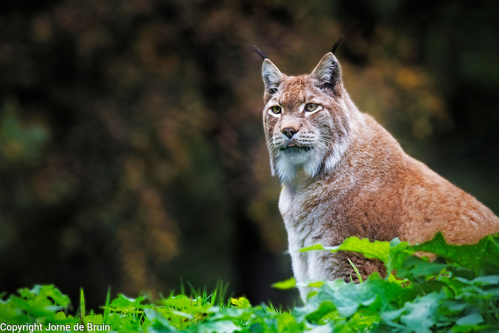 A Lynx sitting in an autumnal forest in a wildelife park in Germany.