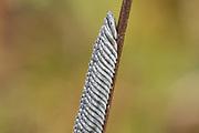 Horsefly eggs (Tabanus cordiger?) on salad burnet (Sanguisorba minor) stem. Surrey, UK.