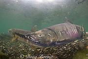 male chum salmon, dog salmon, silverbrite salmon, or keta salmon, Oncorhynchus keta, in spawning stream, Bear Trap, Port Gravina, Alaska, USA ( Prince William Sound )