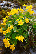 Alpine Marsh Marigolds ( Caltha Palustris ) . Faulhorn Mountain , Bernese Alps . Switzerland .<br /> <br /> Visit our SWITZERLAND  & ALPS PHOTO COLLECTIONS for more  photos  to browse of  download or buy as prints https://funkystock.photoshelter.com/gallery-collection/Pictures-Images-of-Switzerland-Photos-of-Swiss-Alps-Landmark-Sites/C0000DPgRJMSrQ3U