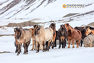 Icelandic horses in winter pasture near Hofn, Iceland
