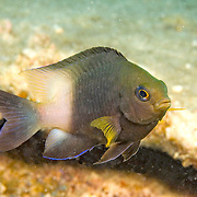 Bicolor Damsilfish inhabit patch reefs and areas of sand and coral rubble, in Tropical West Atlantic; picture taken Grand Cayman.