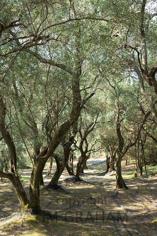 Plastic mesh meshing laid out for harvest of olives trees, Olea europaea in olive grove for olive oil production, Corfu, Greece