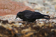 Carrion crow on the beach at Cromarty, on the Black Isle of Scotland, hunting for food.