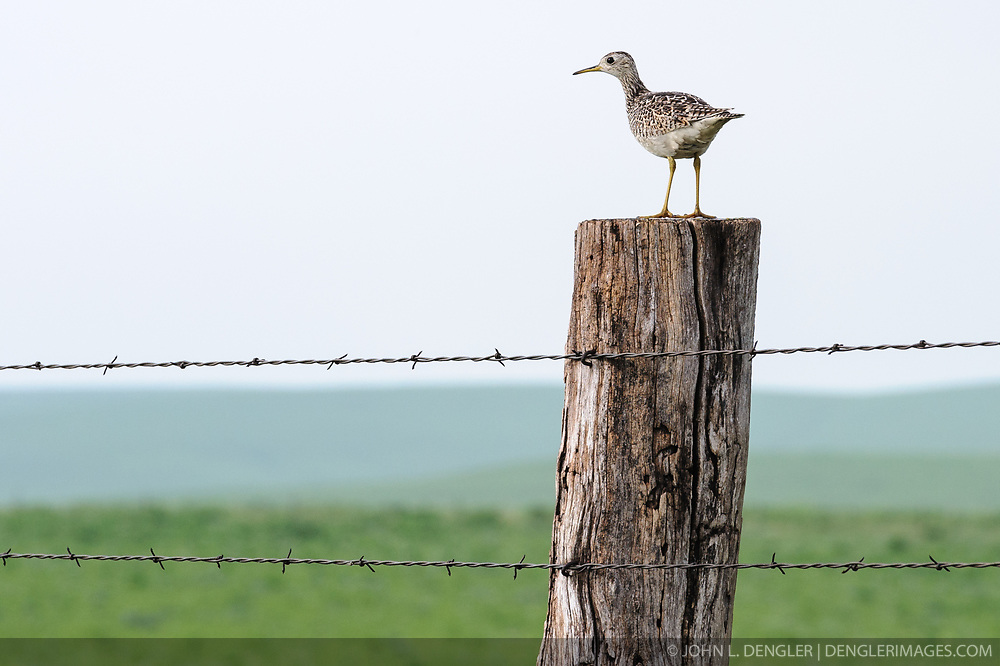 An upland sandpiper rests on a fence post along a country road in the Flint Hills of Kansas east of the town of Cassoday in Butler County Kansas. The upland sandpiper is not associated with water like other sandpipers instead it nests and feeds on the prairie. The bird travels long distances, wintering in the pampas (prairies) of Argentina.