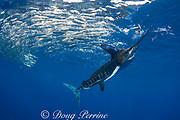 striped marlin, Kajikia audax (formerly Tetrapturus audax ), mauls small fish while feeding on baitball of sardines or pilchards, Sardinops sagax, off Baja California, Mexico ( Eastern Pacific Ocean ) (de)