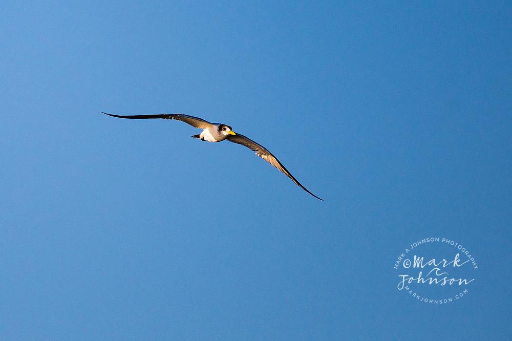 Tern in flight, Golden Beach, Sunshine Coast, Queensland, Australia