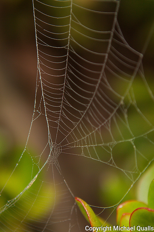 A web amongst the iceplant.