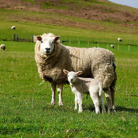 A newborn Sheep, umbilical cord still attached. Mother is not in a mood for visitors or photographers driving thru the countryside.