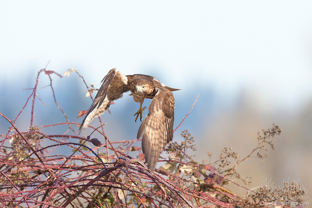 A red-tailed hawk takes off from thorny brush to catch prey in the Ridgefield National Wildlife Refuge in Washington state.