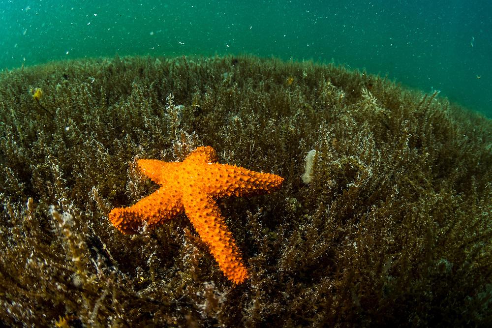 An unidentified sea star walking on algae in an alkaline pond in The Bahamas