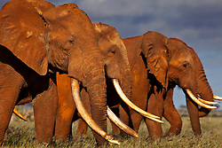 Tsavo, Kenya: While photographing some of the last great Tuskers in Kenya, I would regularly experience a group of slightly younger bull elephants who acted as a bodyguard unit to the largest tuskers. They would literally place themselves between me and the revered Tusker, essentially offering themselves as protection for him in the event that I meant to do him harm. I had no idea elephants did this untilI saw it happening for myself. Poaching against elephants for their ivory has been so great that this is a system certain elephant groups have devised to protect the elephants who represent the best of themselves, the greatest DNA and knowledge. This only serves to remind us of how veryhuman elephants can be and how much we have in common.<br /> <br /> BIO: Brent Stirton is a seniorcorrespondent for Getty Images and a National Geographic Fellow. He specializes in issues relating to man's relationship to the natural world in the hope of highlighting those doing great work that deserves to be supported.<br /> <br /> WEBSITE: brentstirton.com<br /> INSTAGRAM: @brentstirton