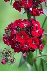 Dianthus barbatus F1 'Sweet Red'. Sweet William