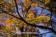 63876-00908 Sugar maple trees in fall    IL