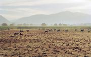 Livestock on a farm land near Jacmel, Haiti