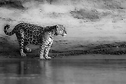 A wild jaguar (Panthera onca) standing on the edge of a river bank looking out, black and white,  Pantanal, Brasil, South America
