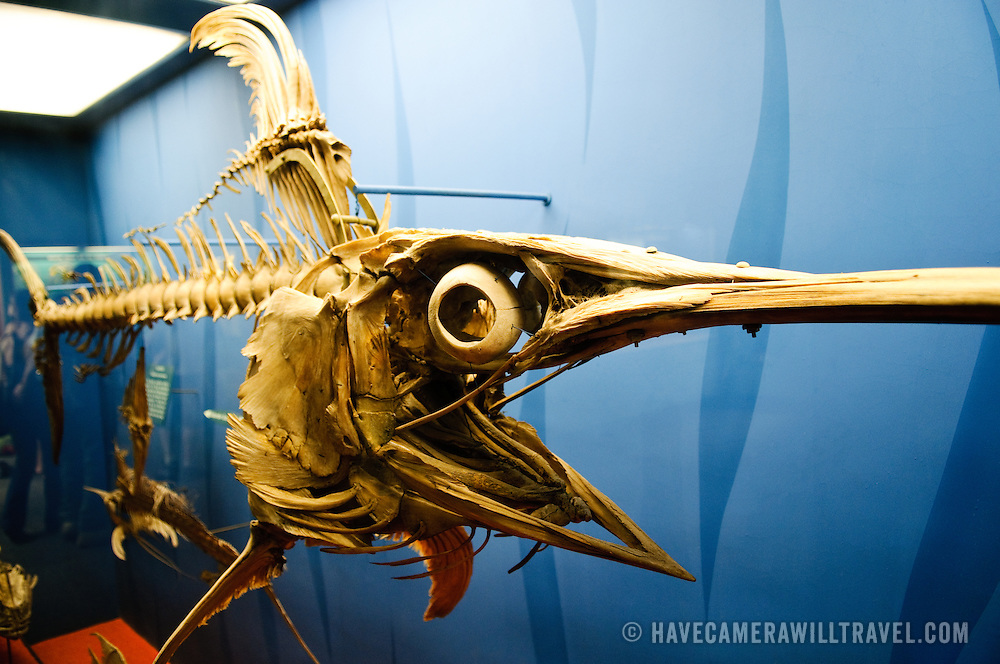 Skeleton of a swordfish at the Smithsonian Institution's National Natural History Museum in Washington DC.