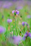 Wild Iris in focus with surrounding Irises Blurred, Alaska